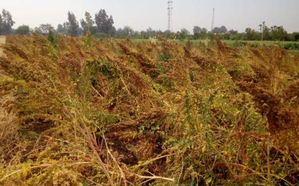 السعودية تطلق تجربة للتوسع في زراعة محصول