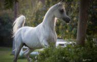 تقرير : أكثر من 24ألف حصان عربي مصري بالبصمة الوراثية لمحطة الزهراء
