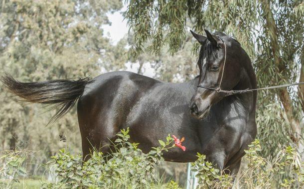 خبير في جمال الخيول: 10 صفات تميز الحصان العربي