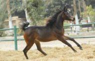 الحصان المصري