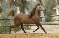 الخيول العربية ...حدوتة الابداع والجمال وتطوير ينتظر