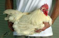 تعرف علي ثمن أغلي دجاج يفضله رؤساء فرنسا... 48 دولار للكيلو الواحد