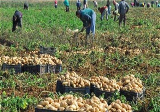 الزراعة: تكثيف الندوات الإرشادية لمزارعي البطاطس