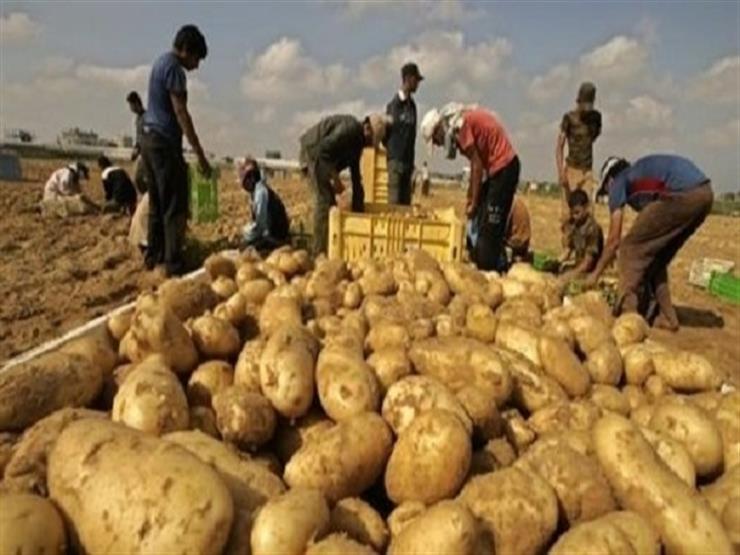 خبير زراعي : 5 نصائح على مزارعي البطاطس اتباعهم