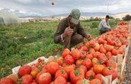 أبوستيت ردا علي حرب الطماطم : الزراعة طرف اصيل في مشكلة التقاوي
