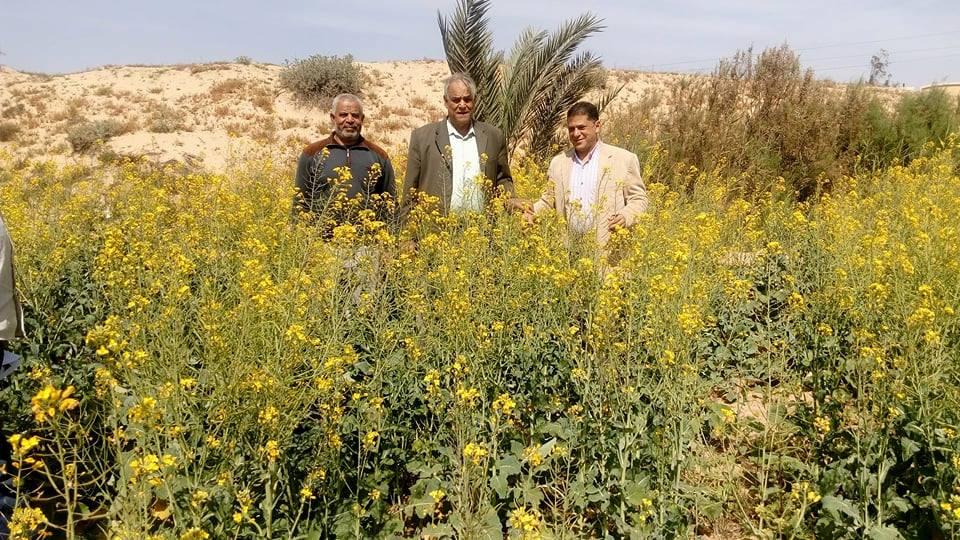 زراعة الكانولا ...الطريق لتحقيق أحلام الزيت المصري الصحي