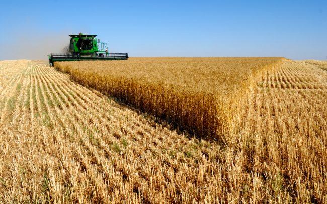 السعودية تبدأ توريد القمح من المزارعين