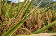 معهد المحاصيل: 3 إجراءات للحد من إنتشار مرض اللفحة في صنفين من الارز