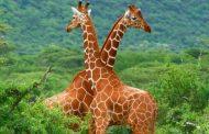 د عاطف كامل يكتب : 18 معلومة عن الزرافة لا تعرفها عن المخلوق العجيب