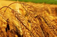 الاسعار العالمية للقمح...الروسي 205 دولار وقمح اوكرانيا 209 دولارا للطن