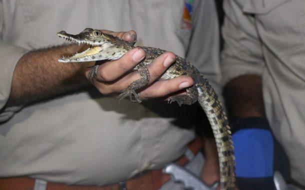 البيئة تنجح فى ضبط تمساح نيلى بمحافظة الشرقية.