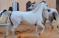 محرز : تصدير 9 خيول عربية أصيلة إلي العراق