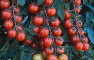 قرار هام بشأن إستيراد تقاوي الطماطم من الخارج