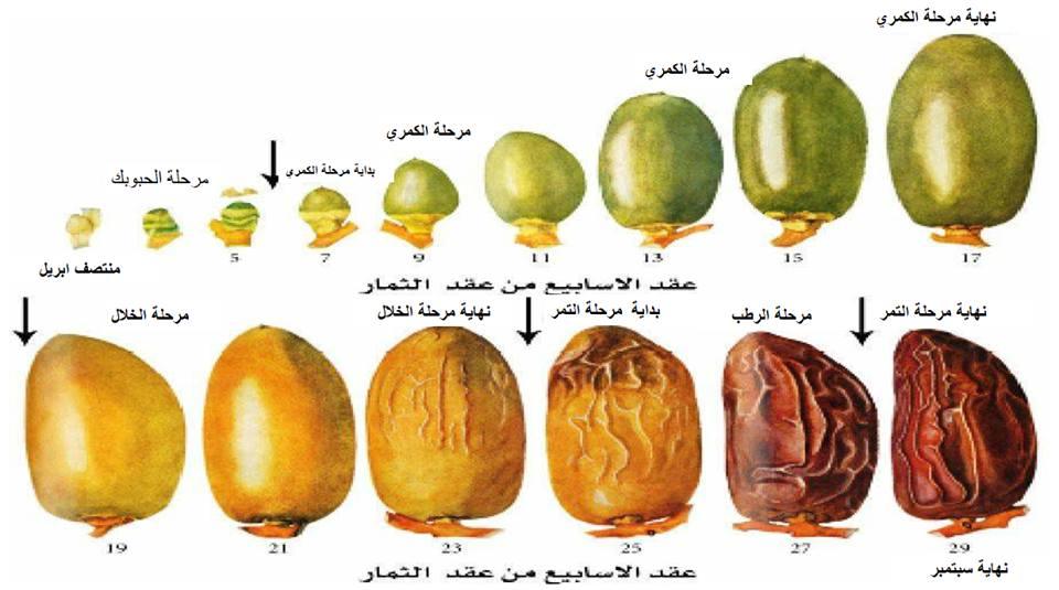 خبير يشرح تطور 5 مراحل ثمرة التمر في نخيل البلح