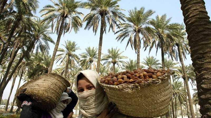 العراق يخطط لزراعة 70 ألف نخلة جنوب بغداد بعد تراجع مكانته في انتاج التمور