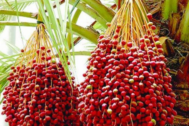 فاو ترصد حالة التمور في مصر: 52.7% من الإنتاج من الأنواع الرطبة
