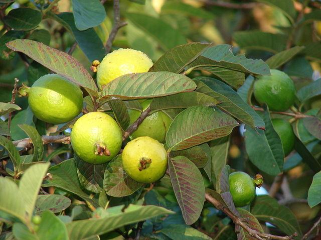 الكودكس تعتمد معايير متبقيات المبيدات لأحد مبيدات الجوافة المصرية لأول مرة