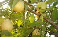 إنفراد... ننشر القواعد الجديدة لتصدير الجوافة إلي الخارج