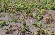 خبير يحذر من زراعة البطاطس الصيف الحالي....