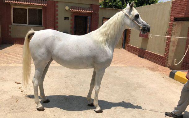 نائب وزير الزراعة: ارتفاع صادرات الخيول العربية إلي 47 حصانا... ومحرز: ترتيب منظومة الخيول أولوية التطوير