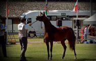 النتائج النهائية لبطولة «ستروهن» الدولية للخيول... سلطانة العرجاء تربح ذهبية المهرات