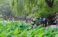 بحيرة مائية تتزين بأزهار اللوتس في العاصمة بكين