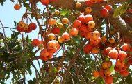 إختفاء الجميز ... فاكهة الفقير وكلمة التقديس وعلاج الالم تاهت مع إختفاء