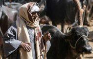 الزراعة تصدر 4 نصائح لمربي الماشية لمواجهة ارتفاع درجات الحرارة
