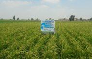 نكشف تفاصيل قرار إلغاء تخفيض مساحات زراعة الارز (حصري)