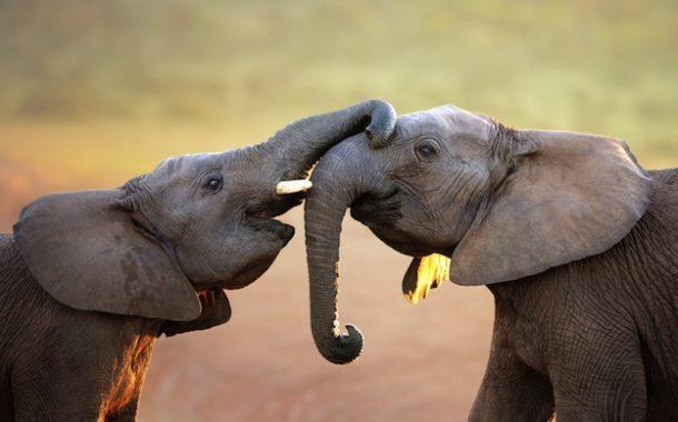 الفيل الأكثر ذكاء... يتذكر الأشخاص رغم مرور الزمن ويخشي النمل والنحل