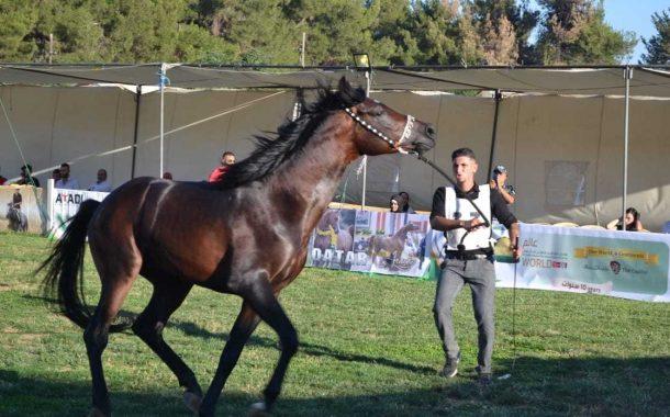 غدا...بطولة الطائف لجمال الخيول العربية الاصيلة