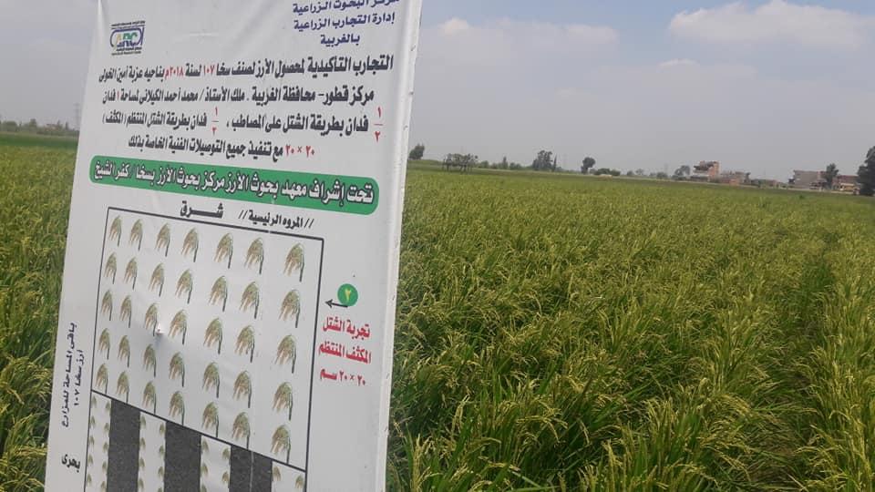 بحوث المحاصيل: إستنباط صنف جديد من الأرز بإحتياجات مائية متساوية مع أصناف الذرة