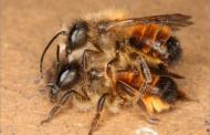 تعرف علي تفاصيل حفل زفاف «ملكة النحل»... تبدأ في أعلى مسافة من سطح الأرض