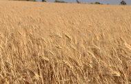 الفاو: انخفاض الإنتاج العالمي من القمح والذرة بسبب المنتجات الامريكية
