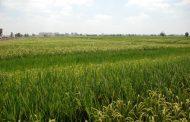 حصاد ٩١٪ من الارز بكفر الشيخ و٥٤ موقع لتجميع القش