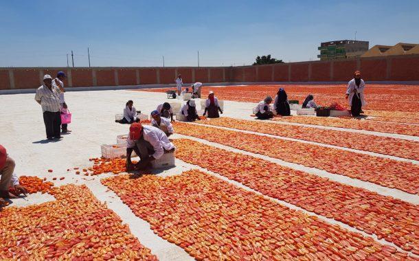 أزمة الطماطم تدفع وزير الزراعة للبحث عن البديل في قرية بالاقصر(تفاصيل)
