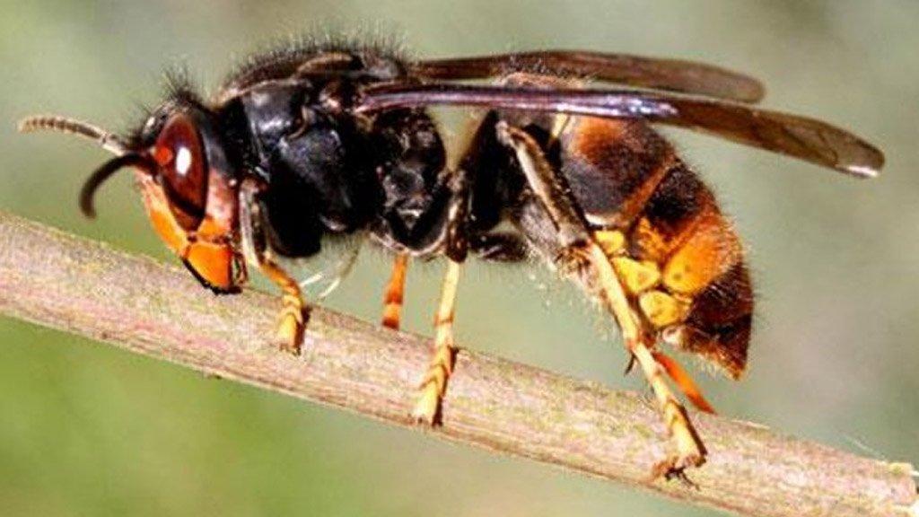 فرنسا تبدأ حرب الدبابير لحماية النحل الاوروبي