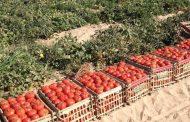 تصدير طماطم وثوم بقيمة 3.2 مليون دولار فى يونيو الماضى