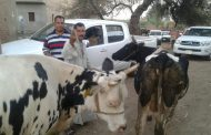 الزراعة : تحصين 2 مليون و 268 ألف راس ماشية في حملة الوقاية من الحمى القلاعية والوادي المتصدع خلال ثلاثة أسابيع