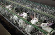 د صفوت كمال يكتب: تحصينات الأرانب الهامة لزيادة الإنتاج