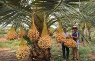 الرئيس السيسي:مصر تخطط لاكبر مزرعة لإنتاج التمور الفاخرة بزراعة 2.5 مليون نخلة