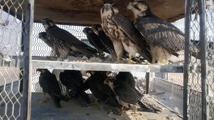 ضبط أكبر عملية تجارة صقور نادرة في البحر الاحمر