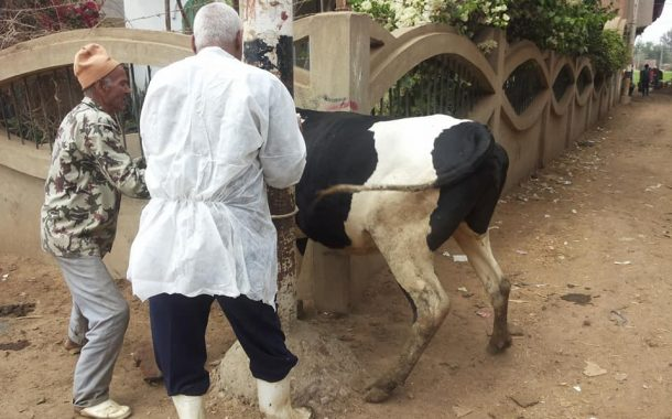 تخصين 775 ألف رأس من الماشية للوقاية من الامراض الوبائية وإستمرار خطة ترقيم الحيوانات بالمحافظات