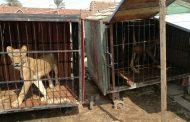 النيابة تصادر 5 سباع و ثعبان ضخم بمحافظة القليوبية وتودعهم في حديقة الحيوان بالجيزة