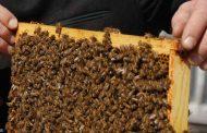 كيف يساعد النحل