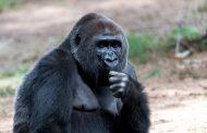 حيوانات مهددة بالإنقراض: 362 ألف غوريلا فقط في غرب أفريقيا