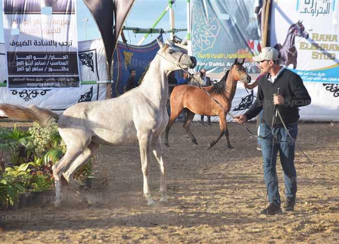 بالصور... أول مهرجان للخيول العربية في المنوفية... محافظة تعشق الجمال