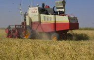 السودان تتوسع فى زراعة الأرز .. وبدء موسم الحصاد فى 400 فدان