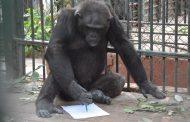 بالصور...تعرف علي الشمبانزي