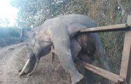الفيل الحرامي...سرق الطعام فكان جزاؤه الموت (التفاصيل)